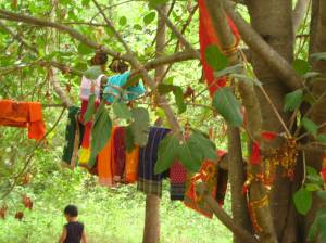 The tree worshipped with sarees and sindoor